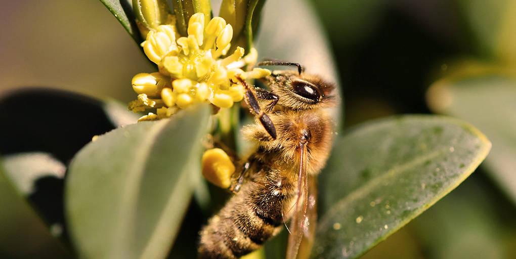 Les abeilles sont exposées aux néonicotinoïdes présent dans le pollen des fleurs