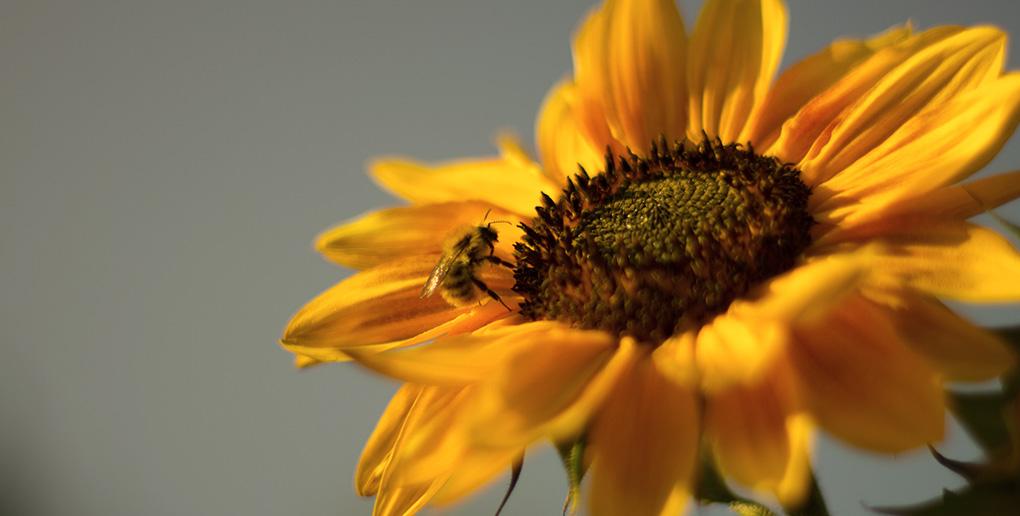 abeille pollinisant une fleur de tournesol