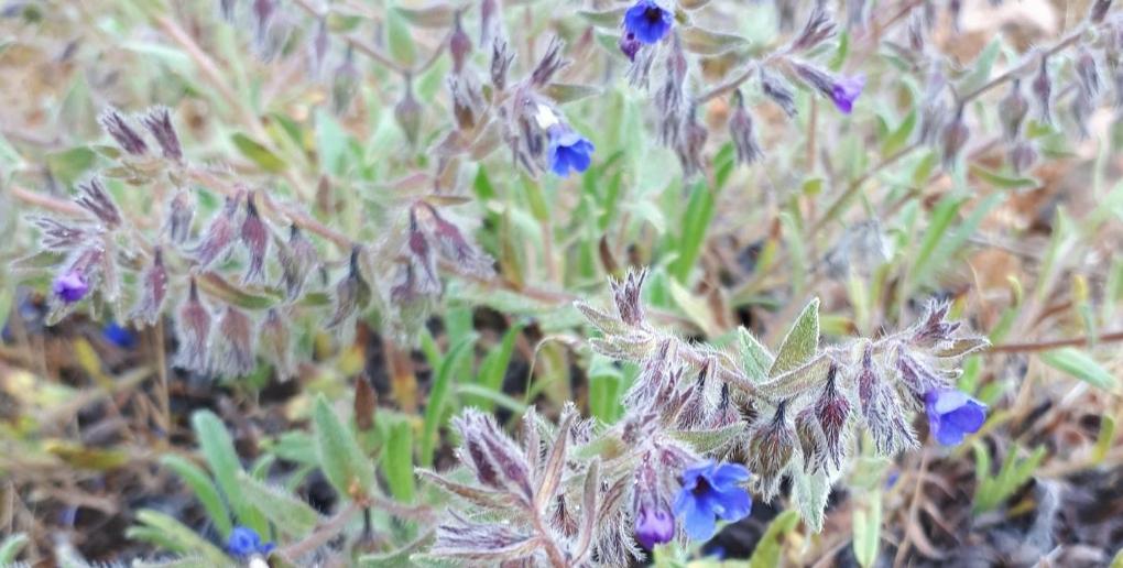 photo de fleurs d'orcanettes