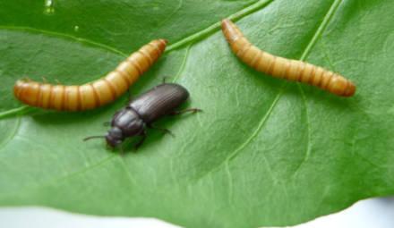 les insectes sont une source de protéines