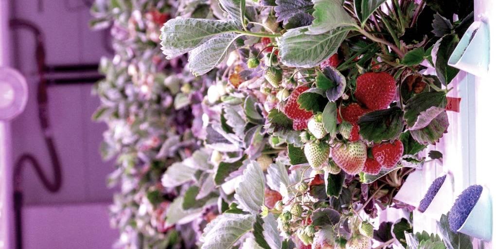 fraises culture hydroponique