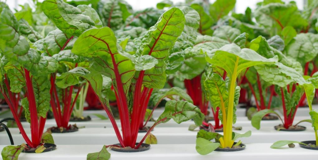 culture de salades en aquaponie