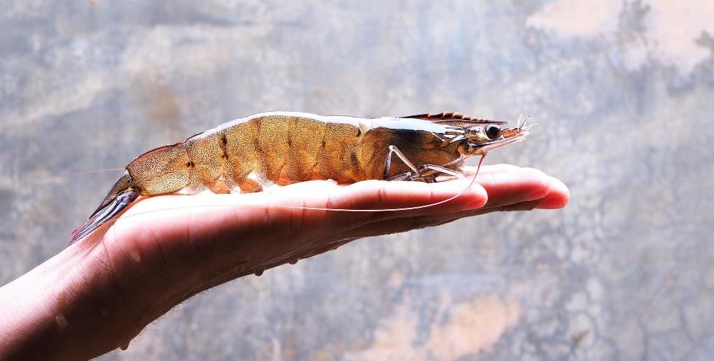 une gambas sur une main, photo proposée par Agriloops