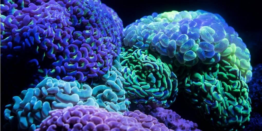 bioluminescence sur des coraux