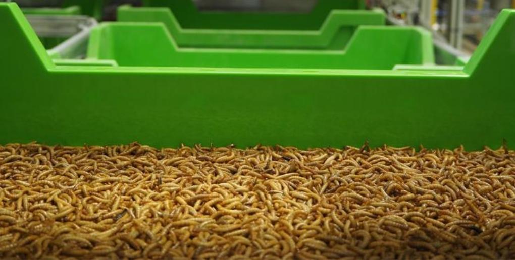 les vers molitors sont des insectes riches en protéines