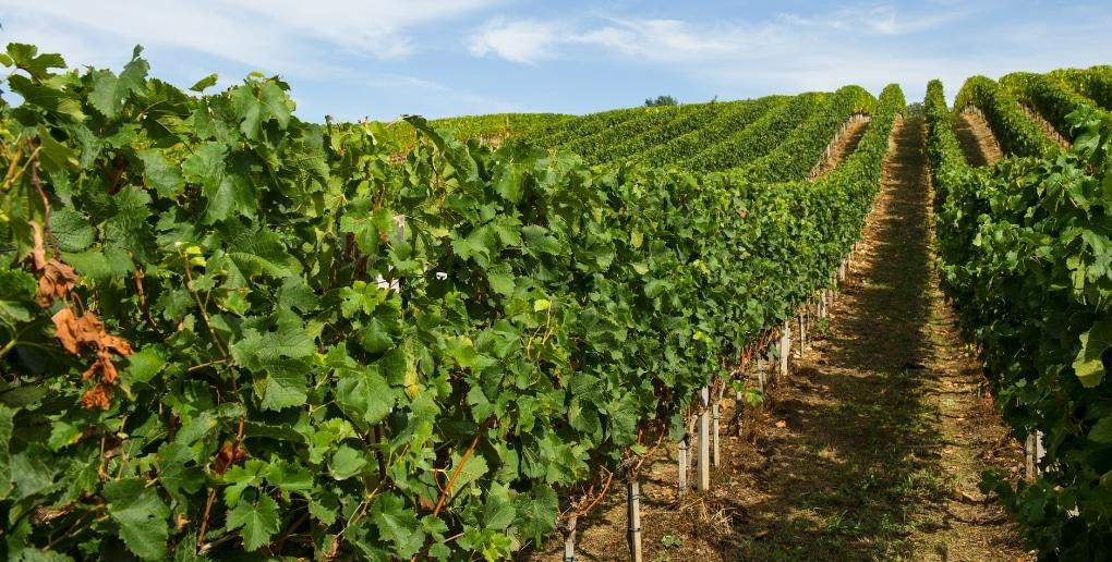 vigne région bordeaux