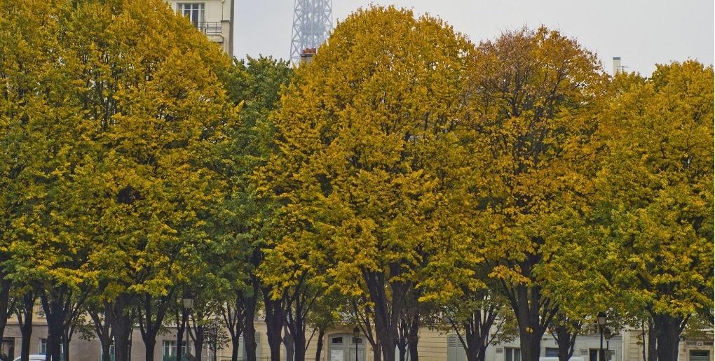 arbres Paris