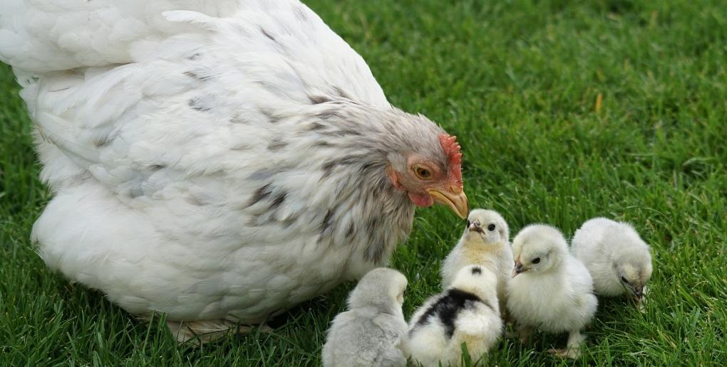 une poule et ses poussins