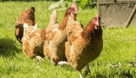 trois poules dans un jardin