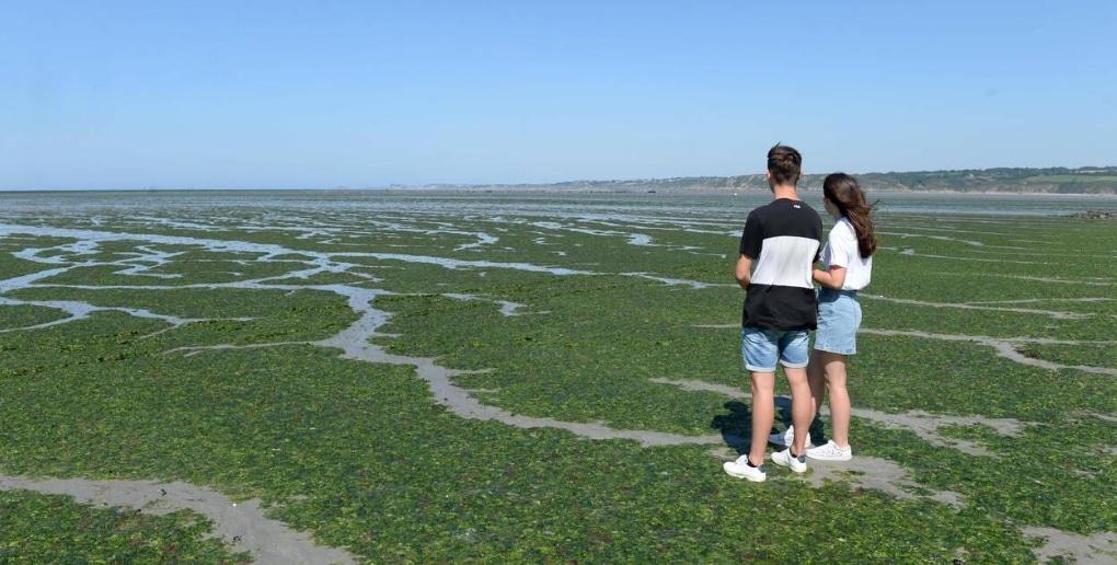algues vertes, plage, couple