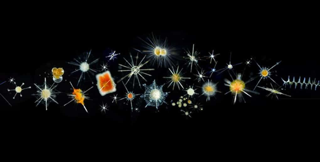 échantillon de plancton