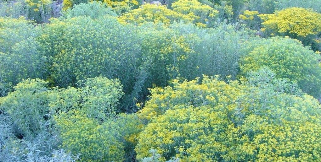 l'Alyssum murale est une plante qui permet de dépolluer les sols