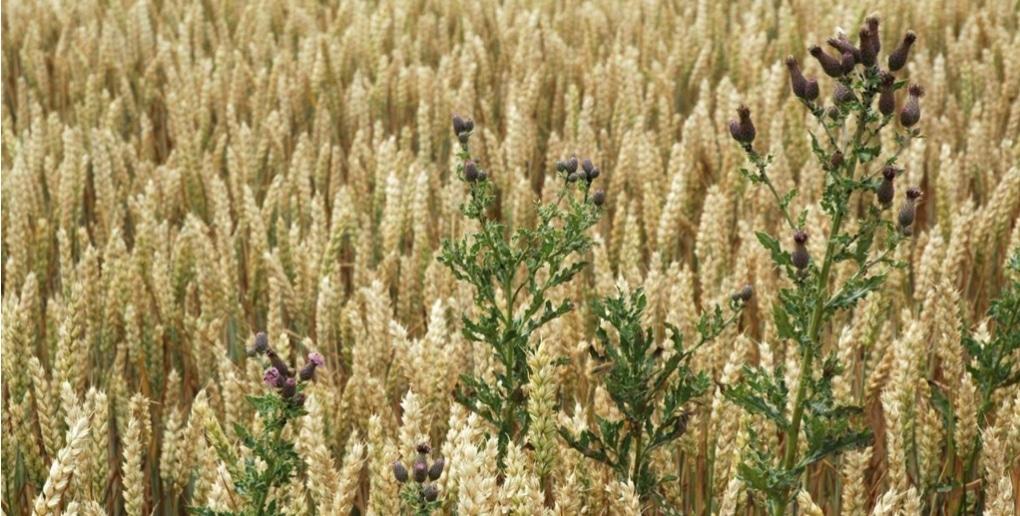 chardon dans un champ de blé