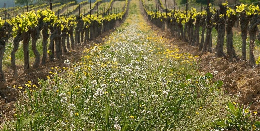 adventices entre deux rangées de vigne