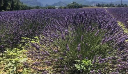 champ lavande agriculture
