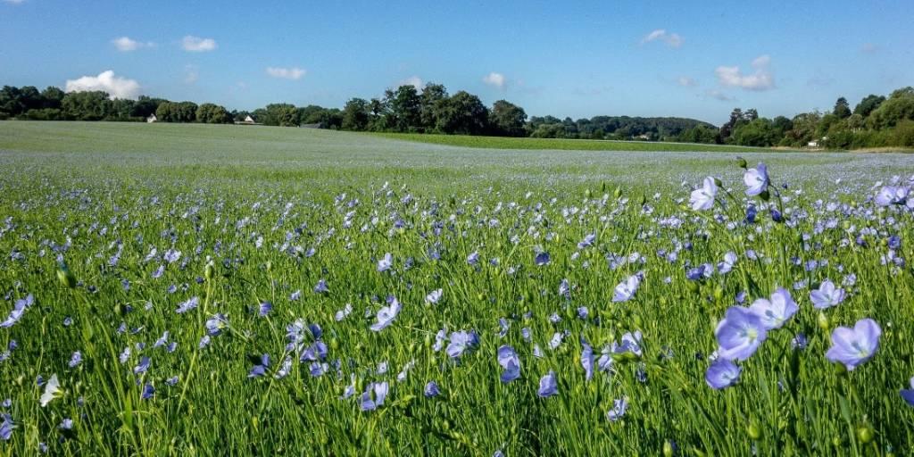 champ de lin en fleurs