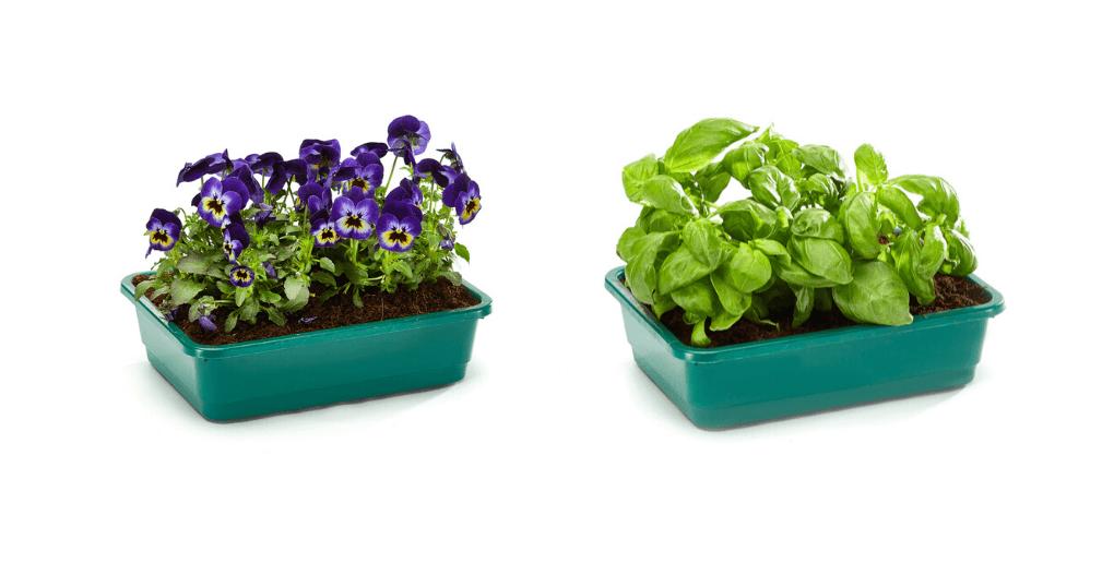 Variétés de plantes cultivables dans le pousse légume Borago