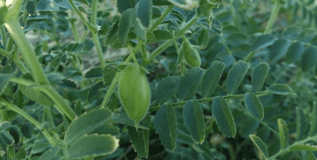 pois chiche protéines végétales