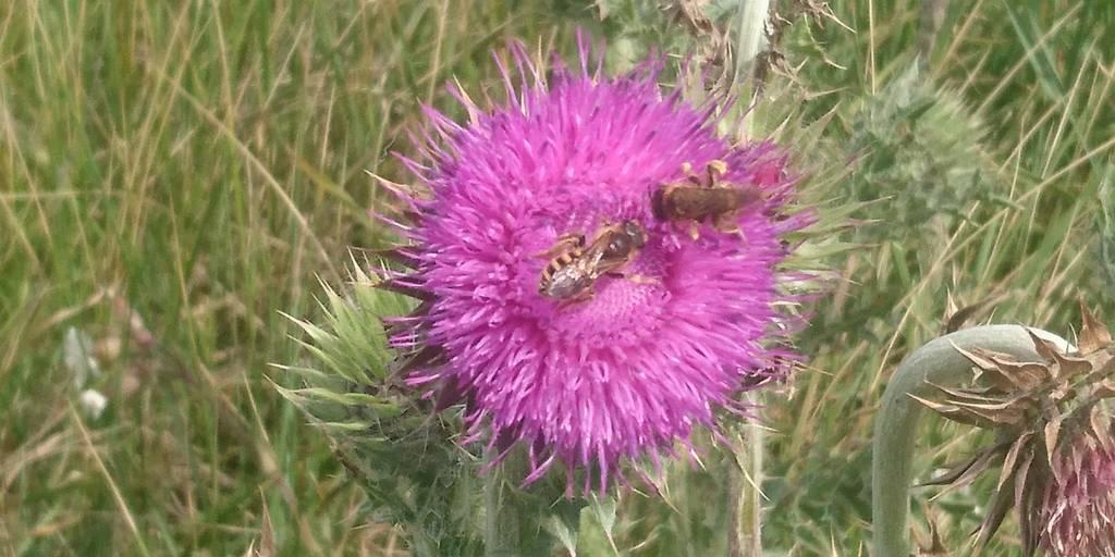 fleur abeilles