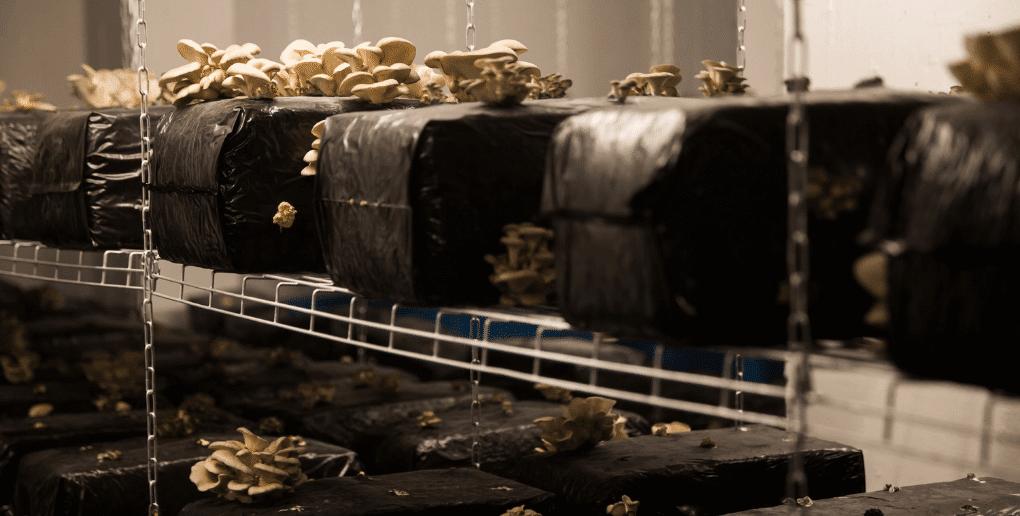 champignons cultivés en sous-sol