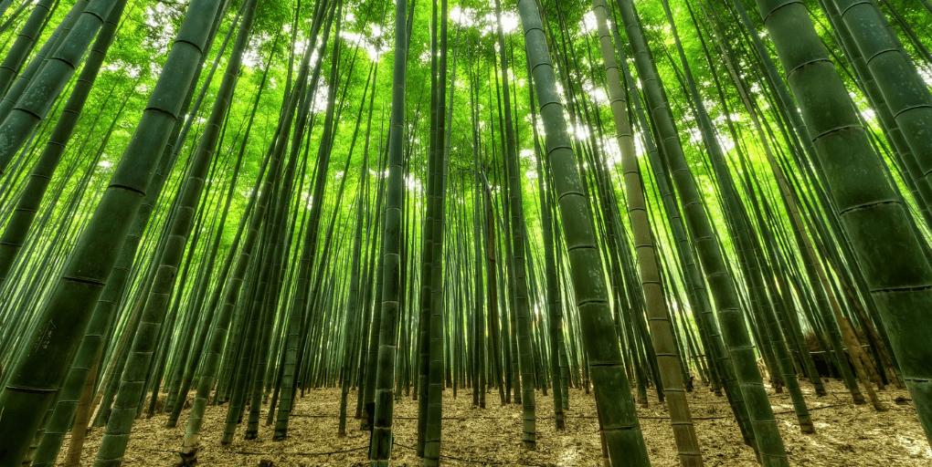 bambousaie