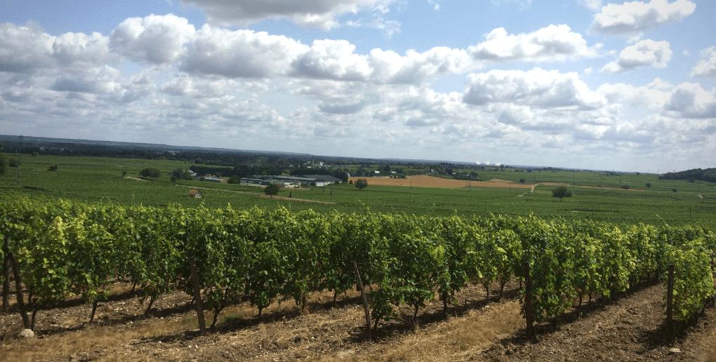 cépages vignes
