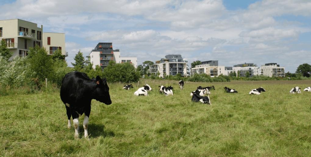des vaches dans une prairie