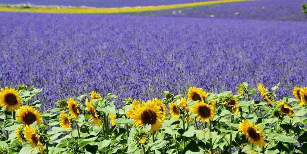 champs de lavande et de tournesol