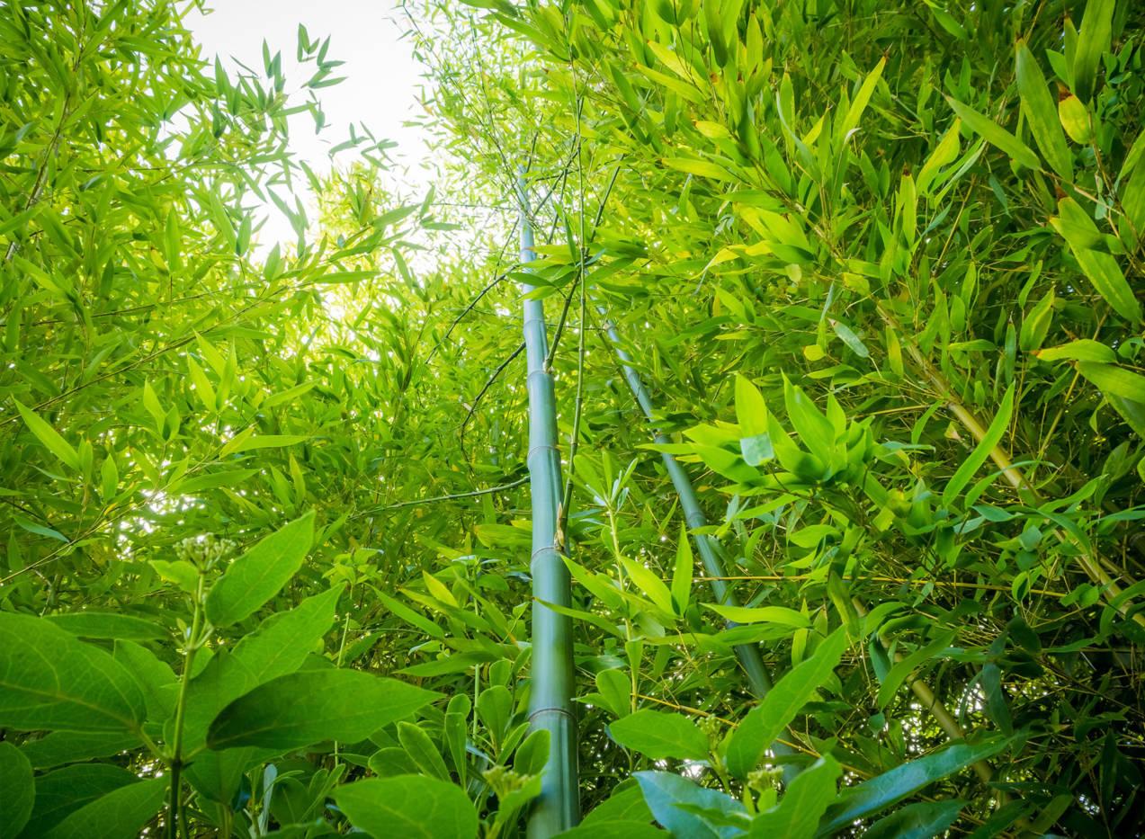 bambousaie de Bamboo for Life
